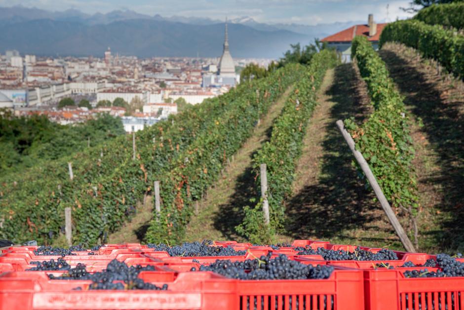 Torino: conclusa la decima vendemmia della Villa della Regina