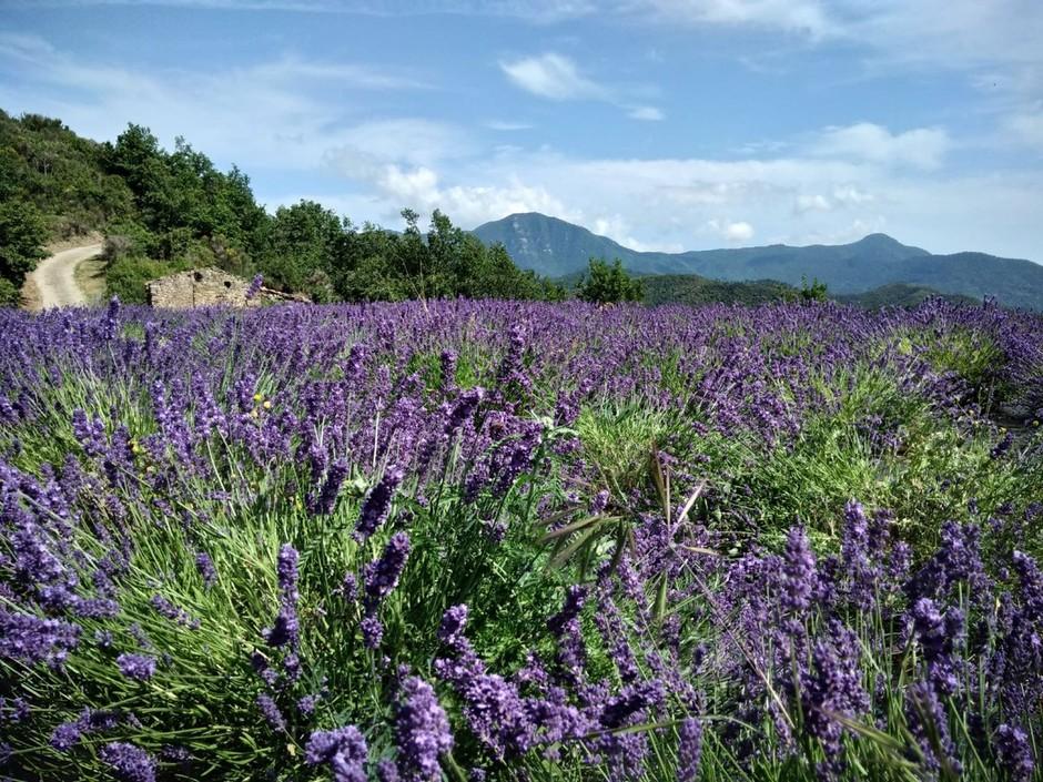 Ventimiglia: nasce l'idea dell'Antico Sentiero della Lavanda in collaborazione con Airole e Olivetta San Michele