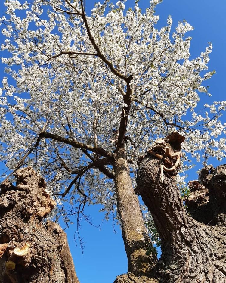Ceresole d'Alba (CN): la spettacolare fioritura di un Ciliegio nato spontaneamente su un albero di Gelso diventa un'attrazione turistica